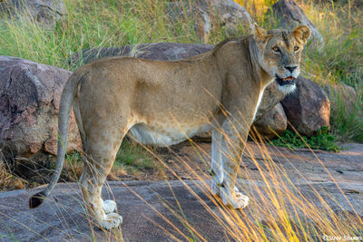 Serengeti-Lioness