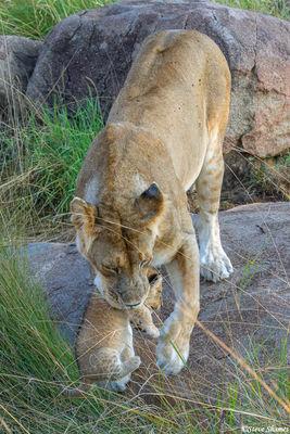Serengeti-Lioness Carrying Cub