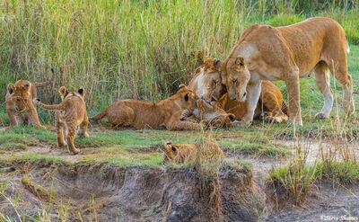 Serengeti-Lioness Head Rubbing