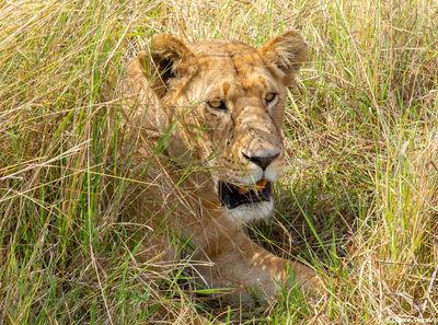 Serengeti-Lioness in Grass