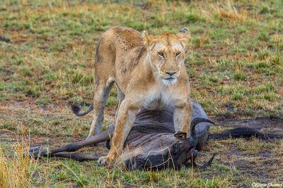 Serengeti-Lioness Kill