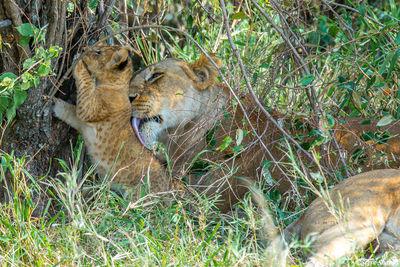 Serengeti-Lioness Licking Cub