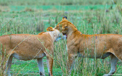 Serengeti-Lioness Sisters