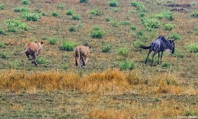 Serengeti-Lions Chasing Wildebeest