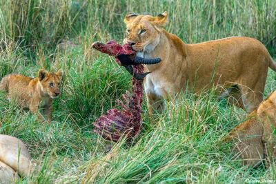 Serengeti-Lions With Topi Kill