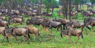 Serengeti-Lots of Gnus