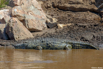 Serengeti-Nile Crocodile