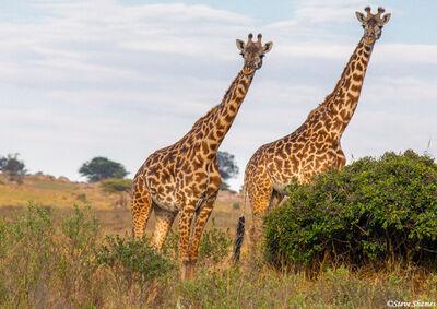 serengeti plains, giraffes, africa