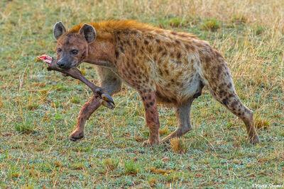 Serengeti Plains Hyena