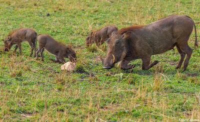 Serengeti Plains Warthog Family
