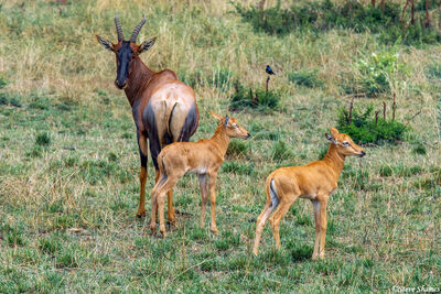 Serengeti-Topi With Calves