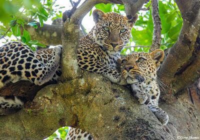 Serengeti-Two Leopards