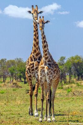 Serengeti-Two Giraffes