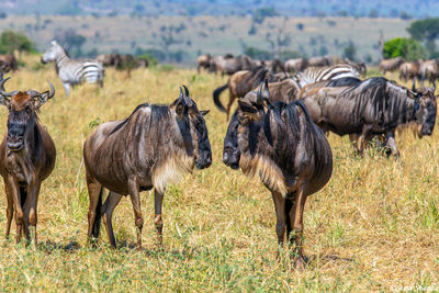 Serengeti-Two Wildebeest
