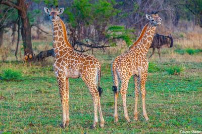 Serengeti-Two Young Giraffes