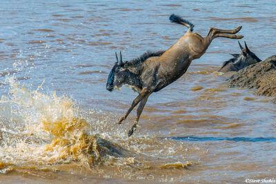 Serengeti-Wildebeest Acrobat
