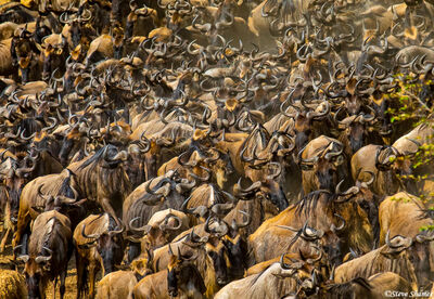Serengeti-Wildebeest Herd