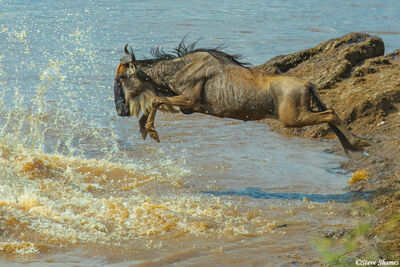 Serengeti-Wildebeest Jumper