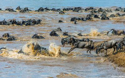 Serengeti-Wildebeest Jumping in Mara