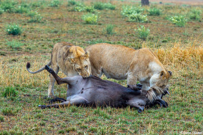 Serengeti-Wildebeest Kill