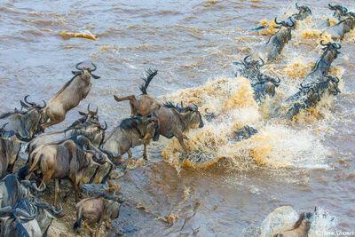 Serengeti-Wildebeest Splashing