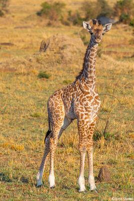 Serengeti-Young Masai Giraffe