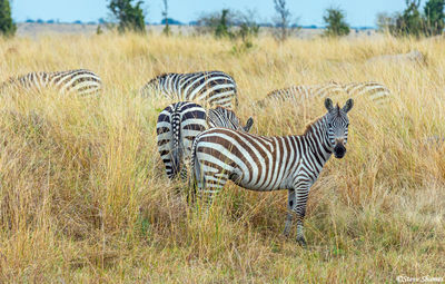 Serengeti-Zebras in Tall Grass