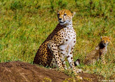serengeti, tanzania, cheetah cub