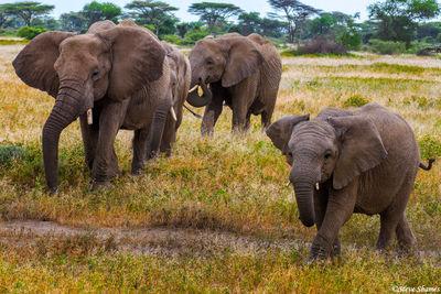 serengeti, national park, tanzania, family of elephants