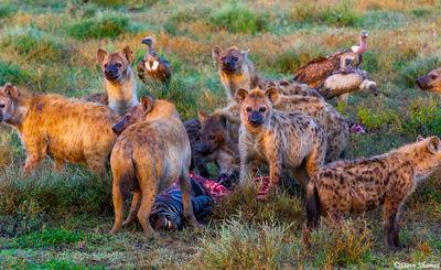 hyena kill, serengeti, national park, tanzania, scavenged