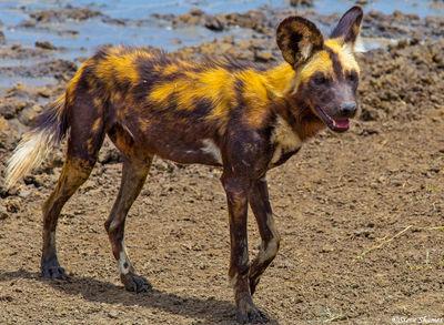 serengeti national park, tanzania, wild dogs, painted wolf