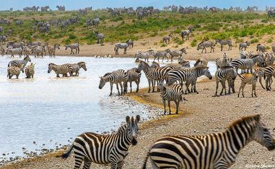 serengeti plains waterhole, zebras