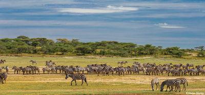 serengeti plains zebra, tanzania