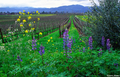 napa valley, northern california, lupines, silverado trail