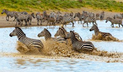 serengeti, national park, tanzania, zebras waterhole