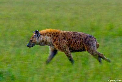 running hyena, masai mara, national reserve, kenya