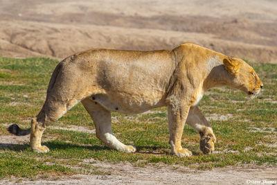 serengeti, national park, tanzania, stalking lioness