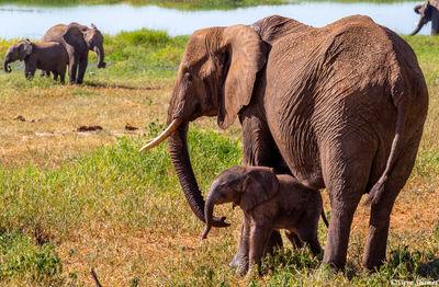 elephant mother and calf, tarangire, tanzania, africa
