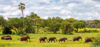 line of elephants, tarangire, national park, tanzania