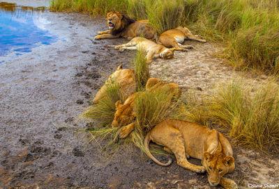 serengeti, national park, tanzania, pride of lions