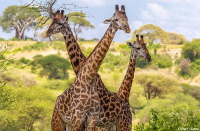 tarangire giraffes, national park, tanzania