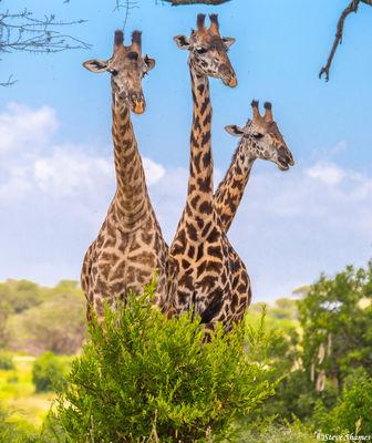 three headed giraffe, tarangire, national park, tanzania,