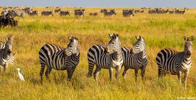serengeti national park, tanzania, zebras, lions