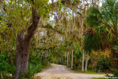 canaveral national seashore, florida, lichen covered trees