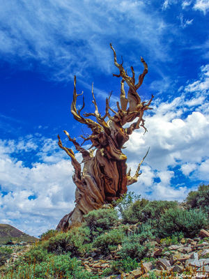 ancient, bristlecone pine forest, twisted tree