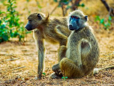 chobe national park, botswana, baboons