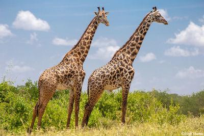 tarangire, national park, tanzania, giraffes