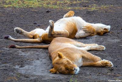 serengeti, national park, tanzania, sleeping lioness