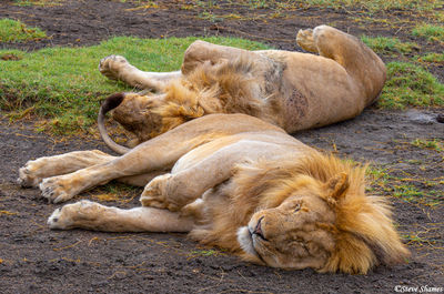 serengeti, national park, tanzania, sleeping lions