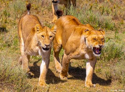 serengeti, national park, tanzania, lionesses
